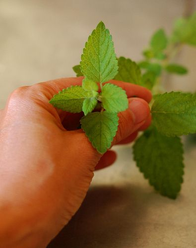 Lemon Balm  to Make Simple Syrup by Eve Fox, the Garden of Eating blog, copyright 2014