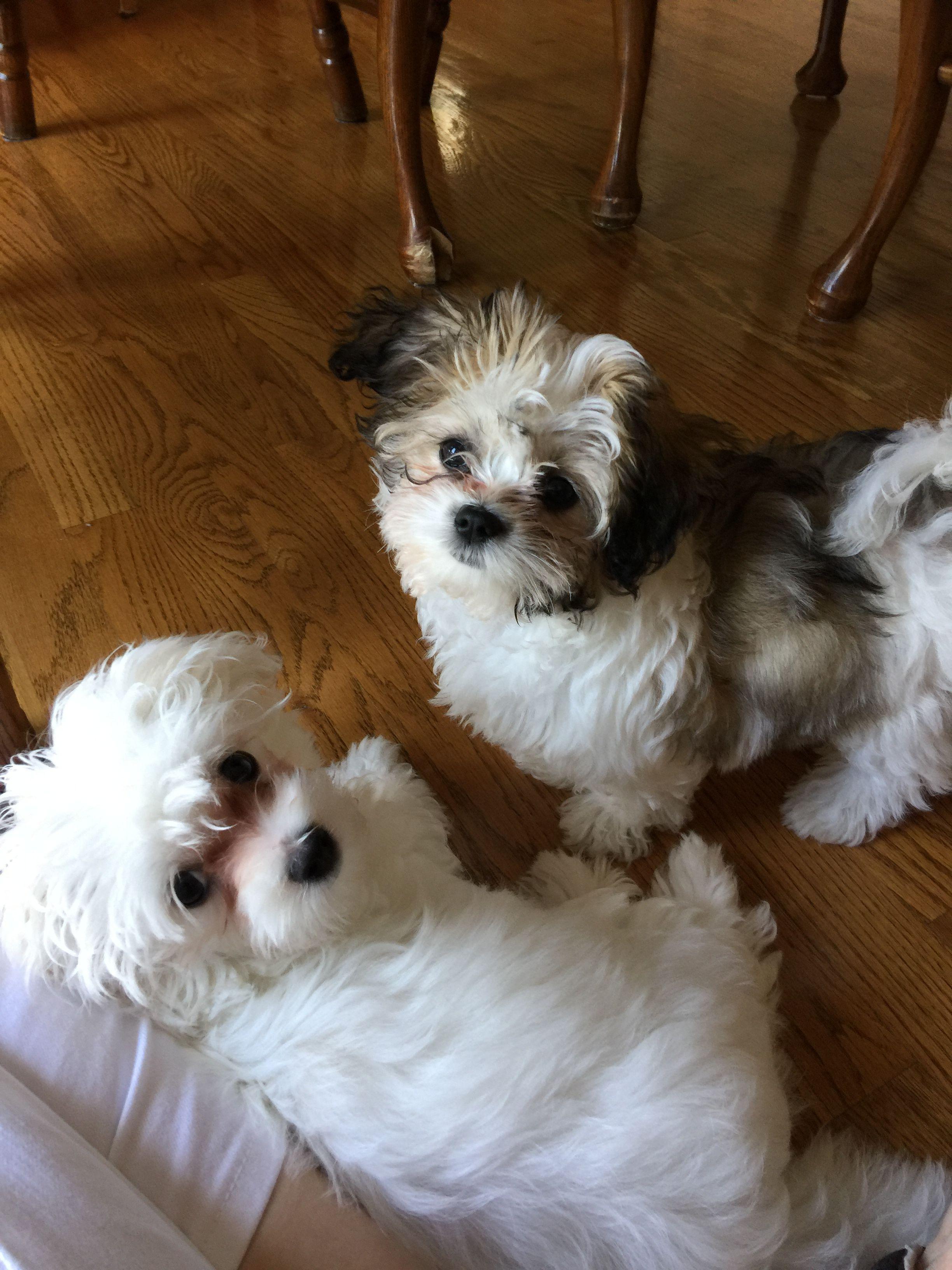 Sarah And Ginger Maltese And Maltese Shih Tzu 11 And 12 Weeks Old