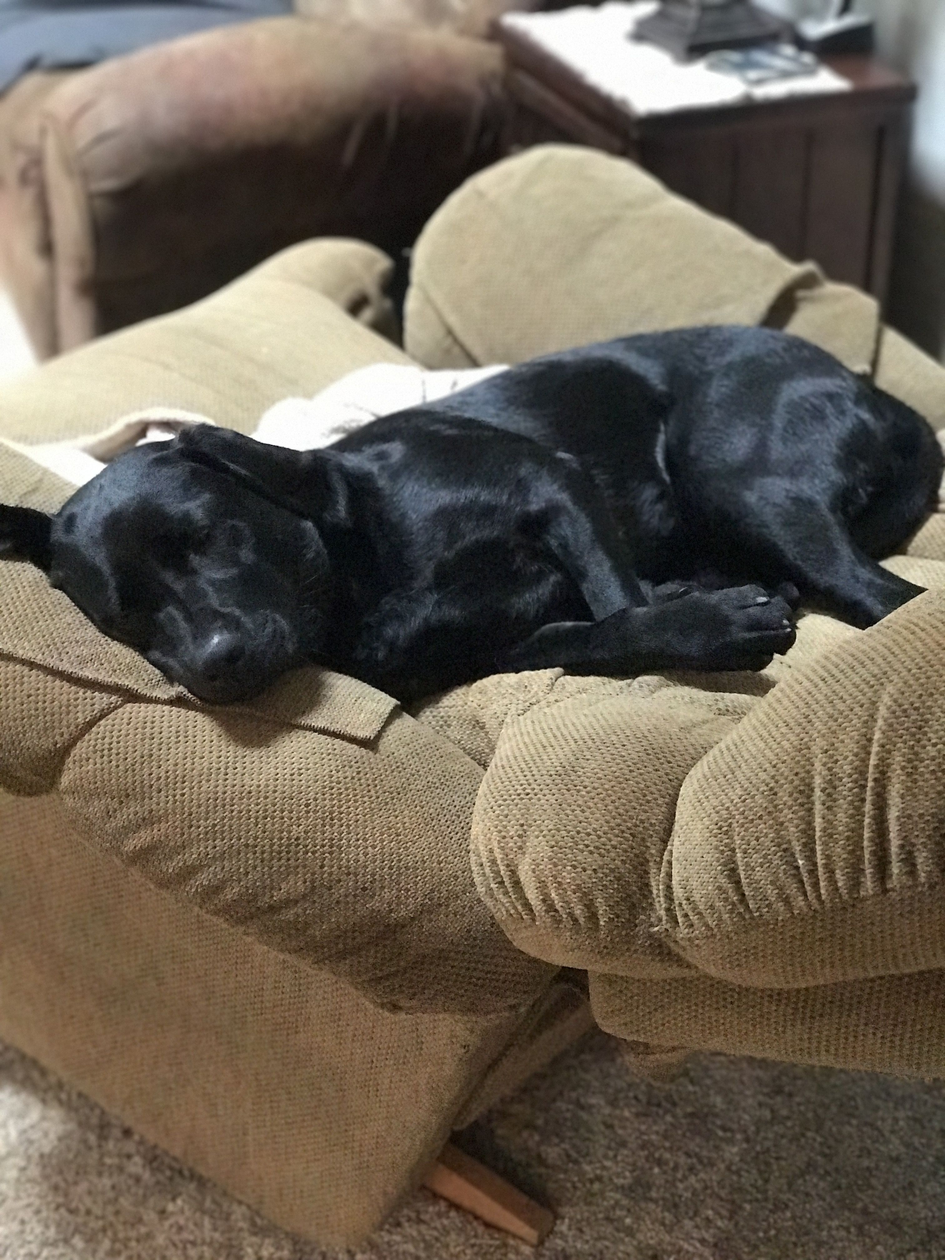 One year old Black English Lab. Favorite place to sleep