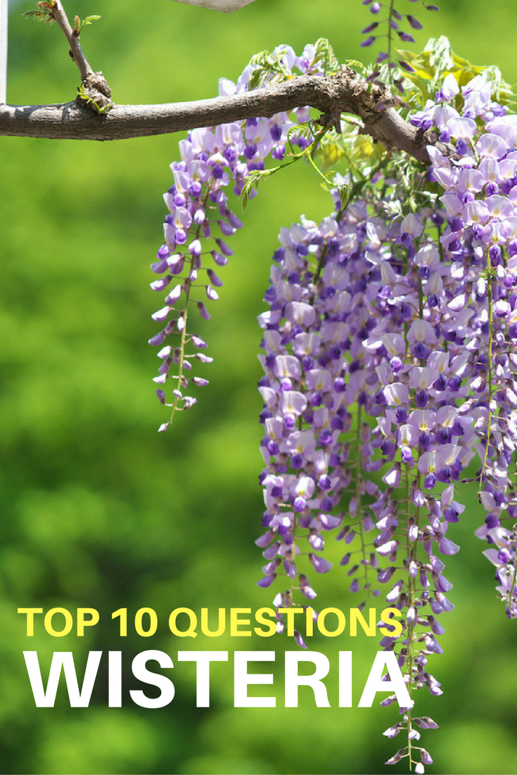Top 10 Questions About Wisteria Vines Gardening Know How S Blog Garden Vines Wisteria Plant Garden Shrubs