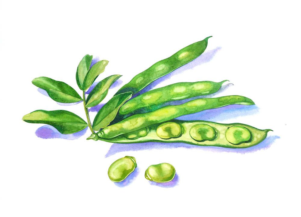 Fava Beans Fava Beans Watercolor Beans