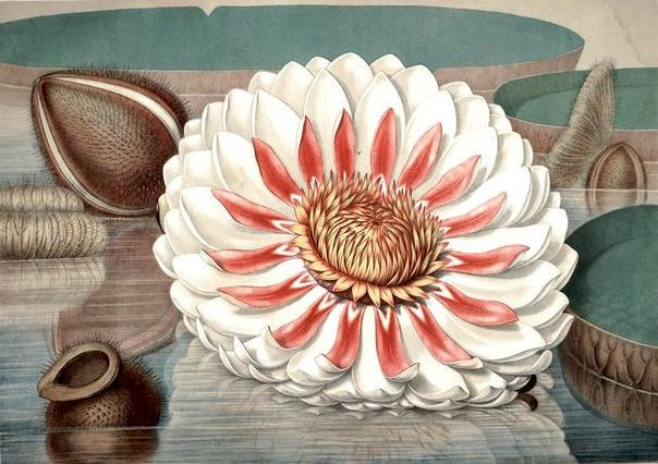 Victoria regia, or, The great water lily of America (pl. 5), Boston, Printed and pub. for the author, by Dutton and Wentworth,1854.