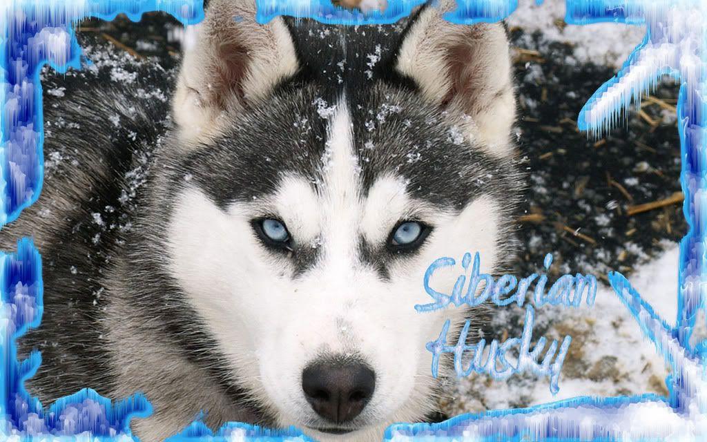Desktop Backgrounds Husky Husky Wallpaper Siberian Husky Dog
