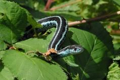 Puget Sound Garter Snake Thamnophis Sirtalis Pickeringii Burke Museum Puget Sound Region Non Poisonous Snake Puget Sound Puget