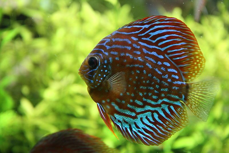Discus Fish Info And Photos The Wildlife Tropical Fish Discus Fish Beautiful Tropical Fish