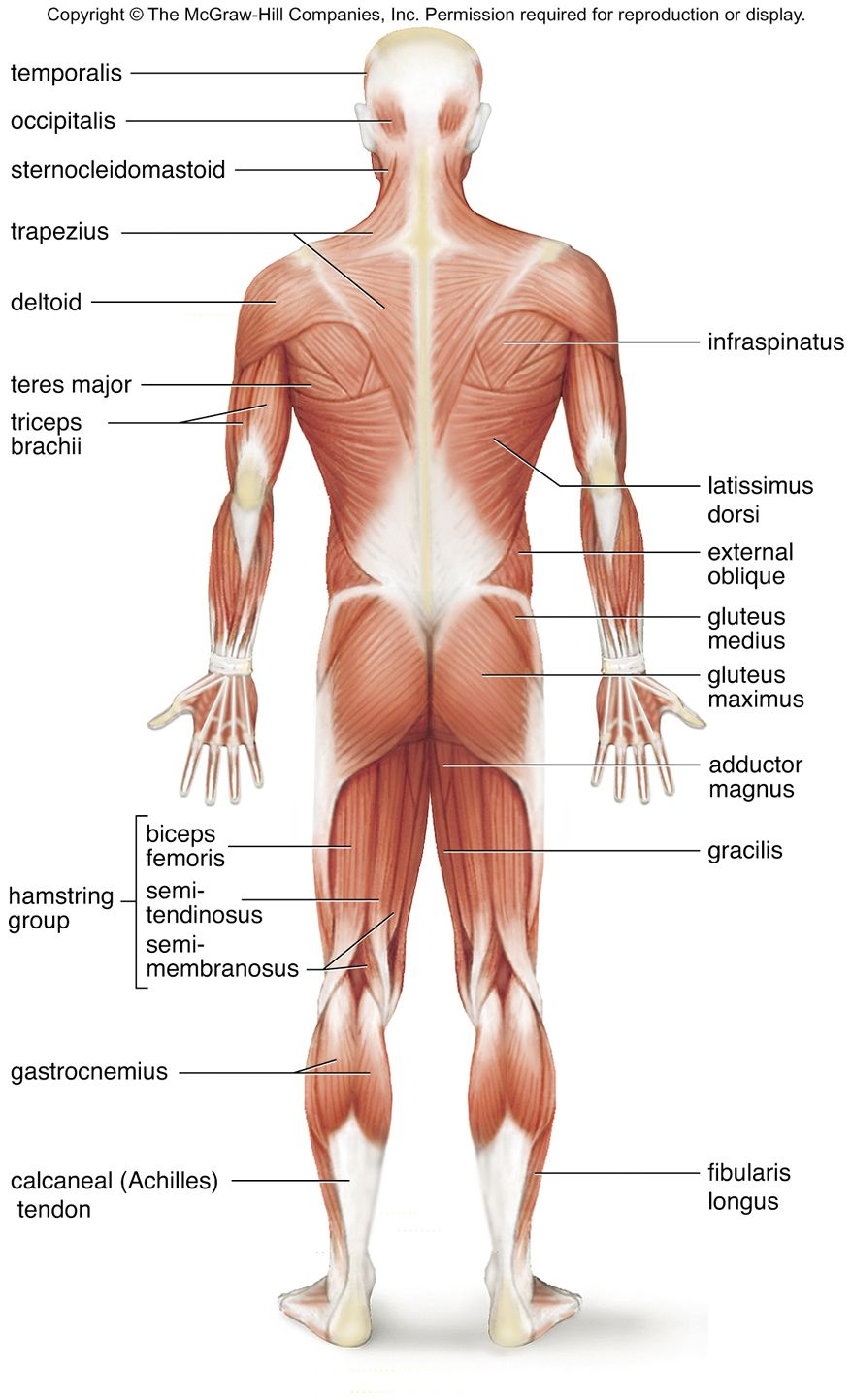 Superficial Muscles Posterior View Superficial Skeletal Muscles