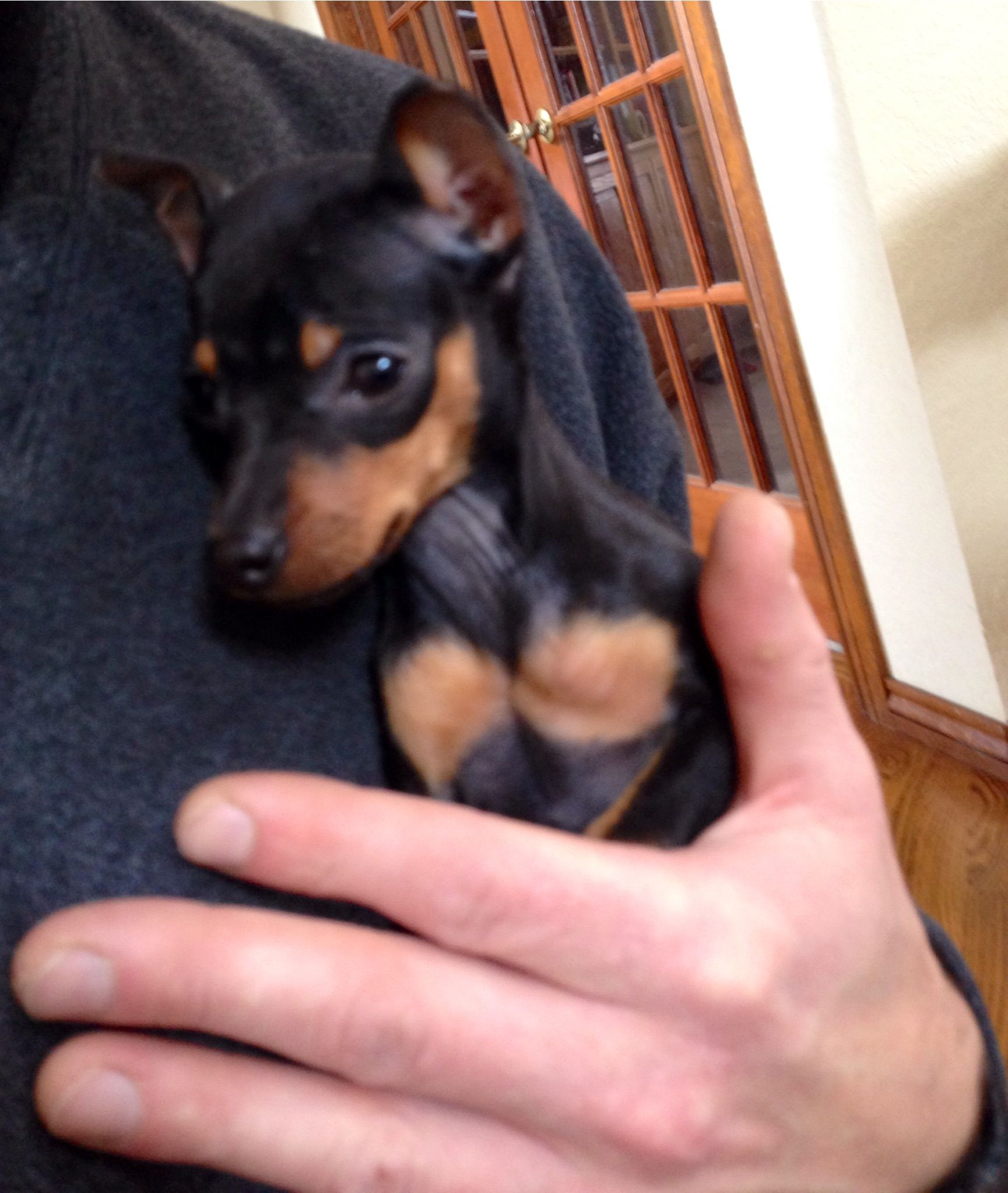 Love The Black And Tan But I Love My Baby Red Min Pin Min Pin