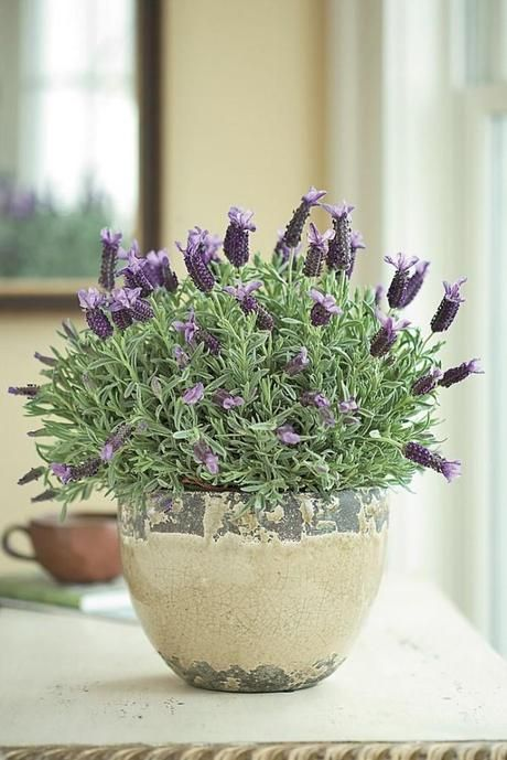 French Lavender In Rustic Pots Lining The Aisle More