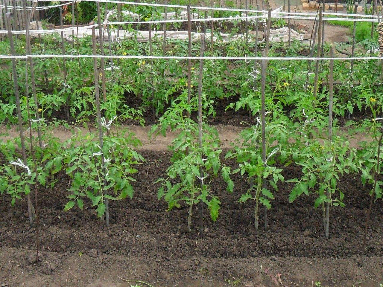 нужно ли подвязывать помидоры в открытом грунте