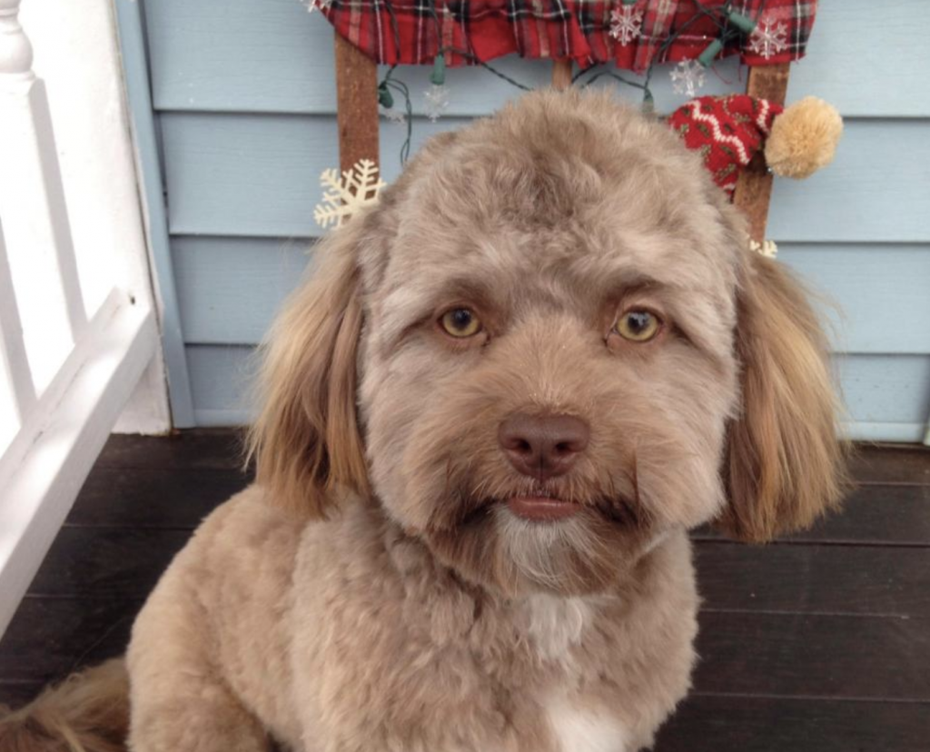 10 Dogs That Will Freak You Out With Their Human Faces Spatula Wizard Shih Poo Dog Face Human Face