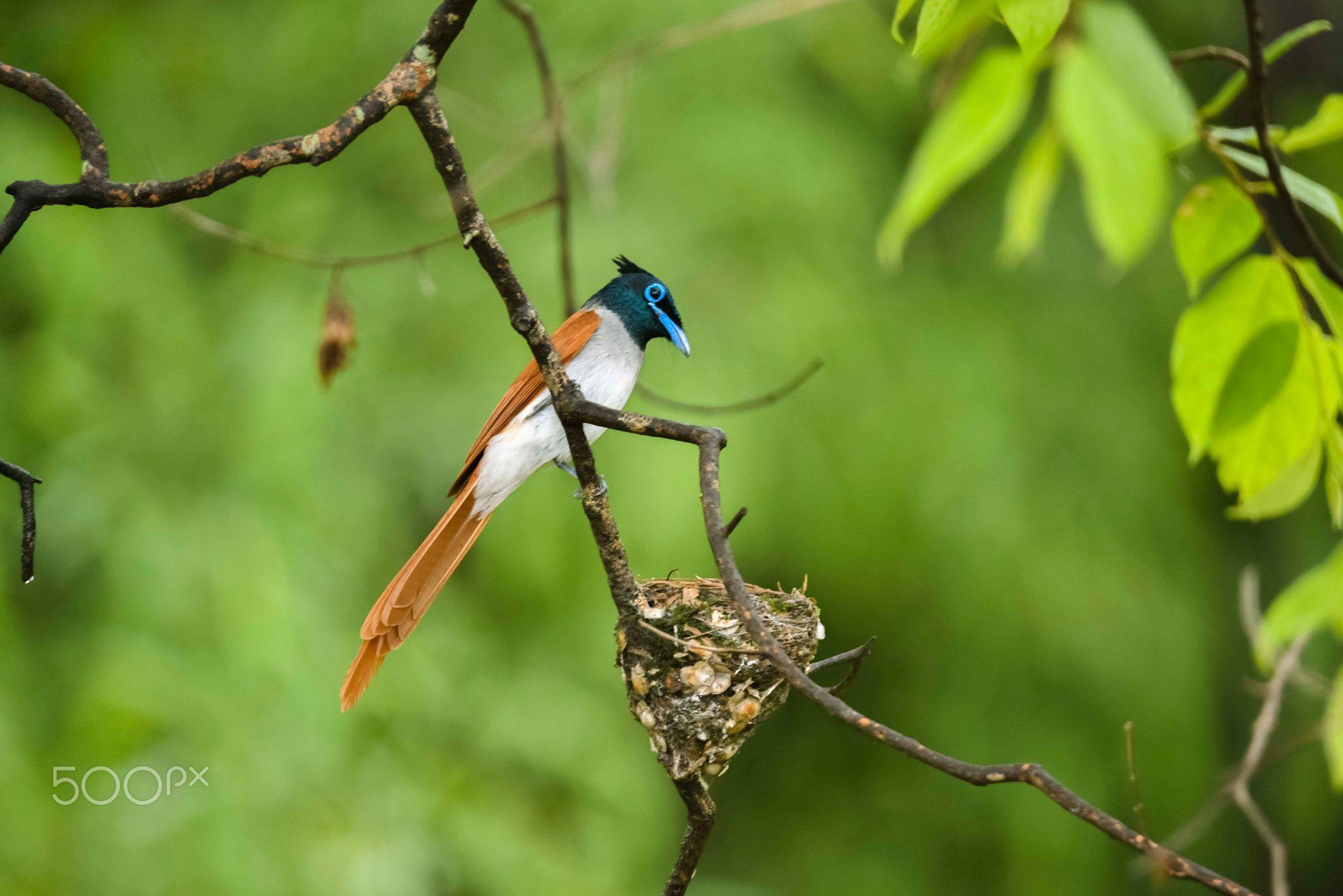 Asian Paradise Flycatcher The Asian paradise flycatcher