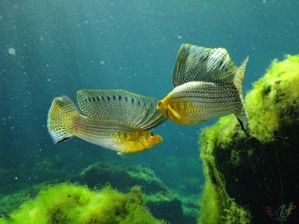 Моллинезия высокоплавничая | Аквариумная рыбка, Гуппи ...