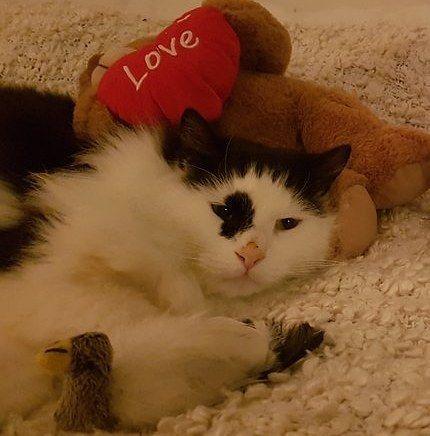 Sort/hvit hannkatt savnet i Lysefjorden Hordaland. (link: http://dyrebar.no/71797/) dyrebar.no/71797/ #katt #savnet  Sort/hvit hannkatt savnet i Os  10.01.2018 19:25