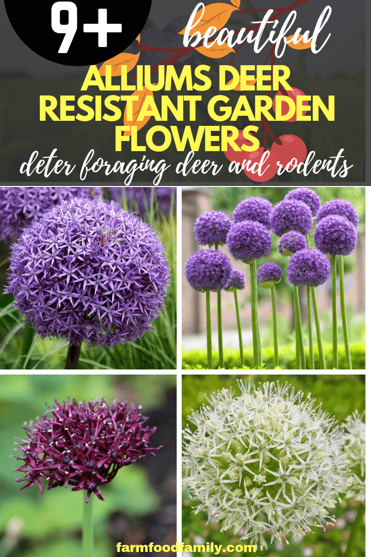 9 Drought Tolerant Ornamental Onion Plants Deter Small Rodents