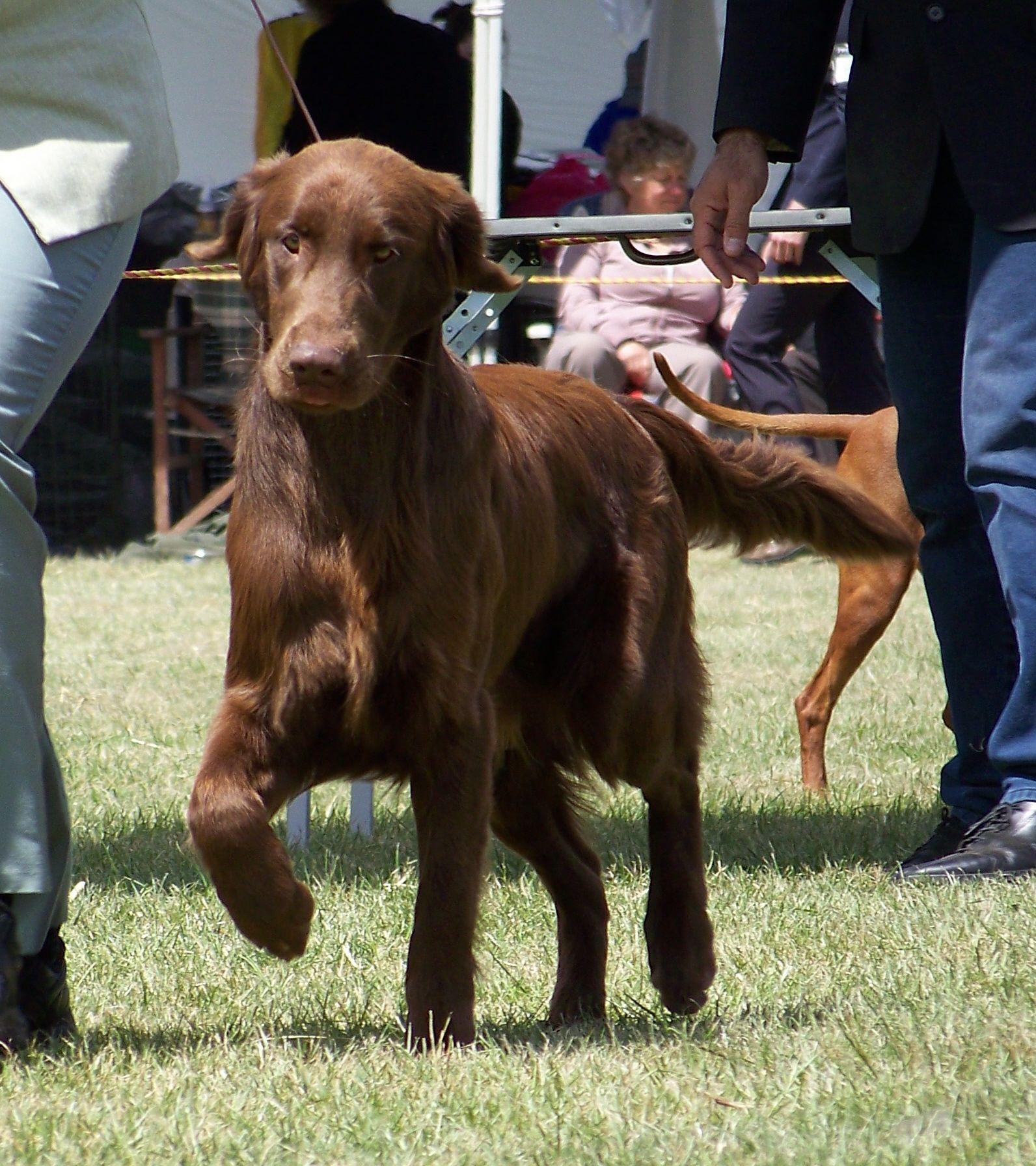 Brown Flat Coat Golden Retriever | Flat-Coated Retriever: Dogs ...