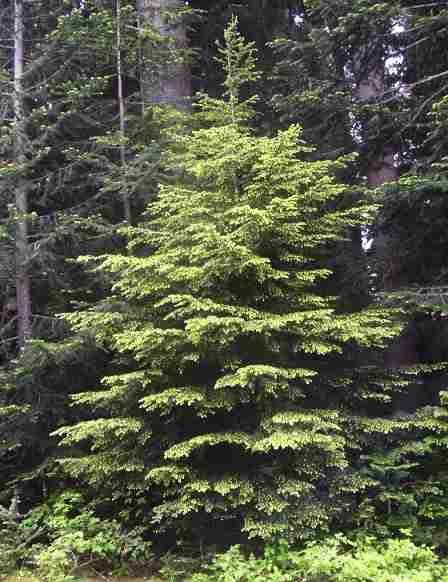 10 tattoos of Western Hemlock, Washington's state tree ... |Washington Evergreen Trees