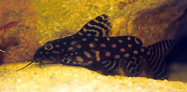 A Very Nocturnal Species That Will Be Seen Only Infrequently During Daylight Hours S Angelicus Is Very Long Lived And C Pleco Fish Tropical Fish Rare Species