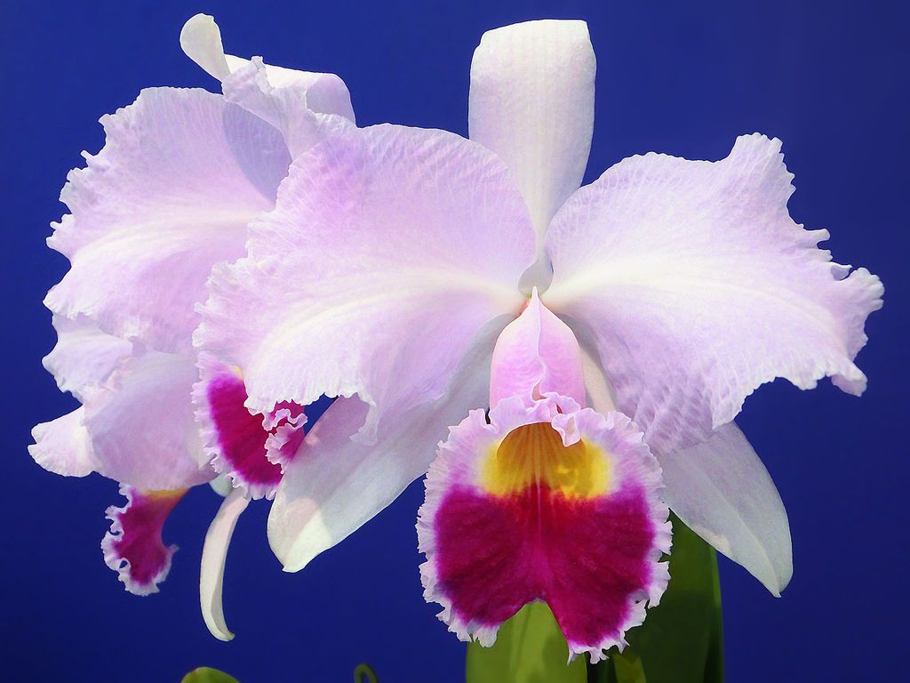 Cattleya trianae orchid. The national flower of Colombia