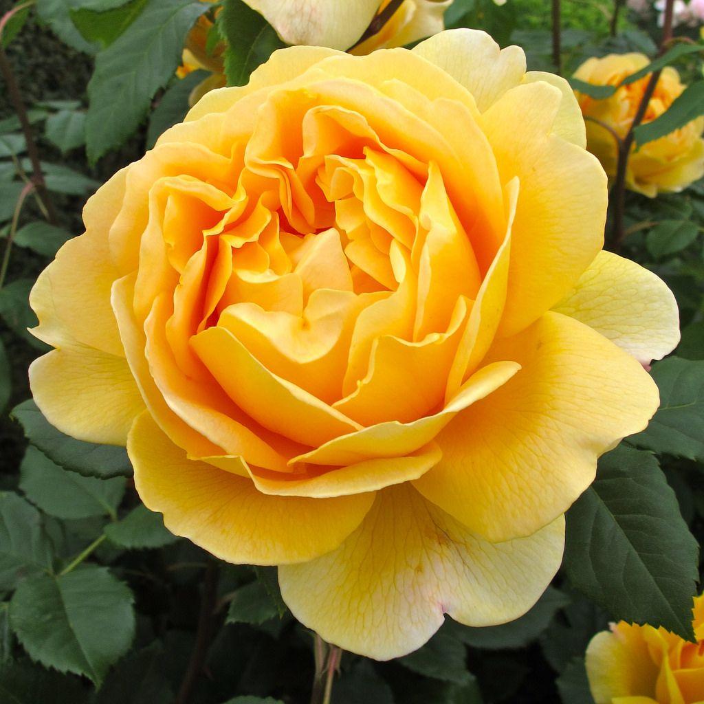 39 golden celebration 39 rose david austin shrub and plants. Black Bedroom Furniture Sets. Home Design Ideas