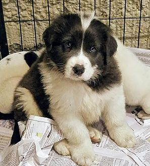9 10 17 Great Pyrenees Border Collie Mix Puppy For Adoption In