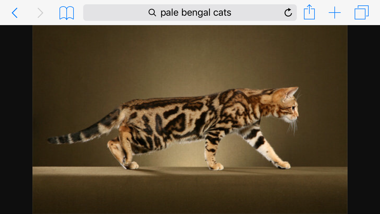 Pin by Amber on Cat Warriors Bengal cat, Bengal cat