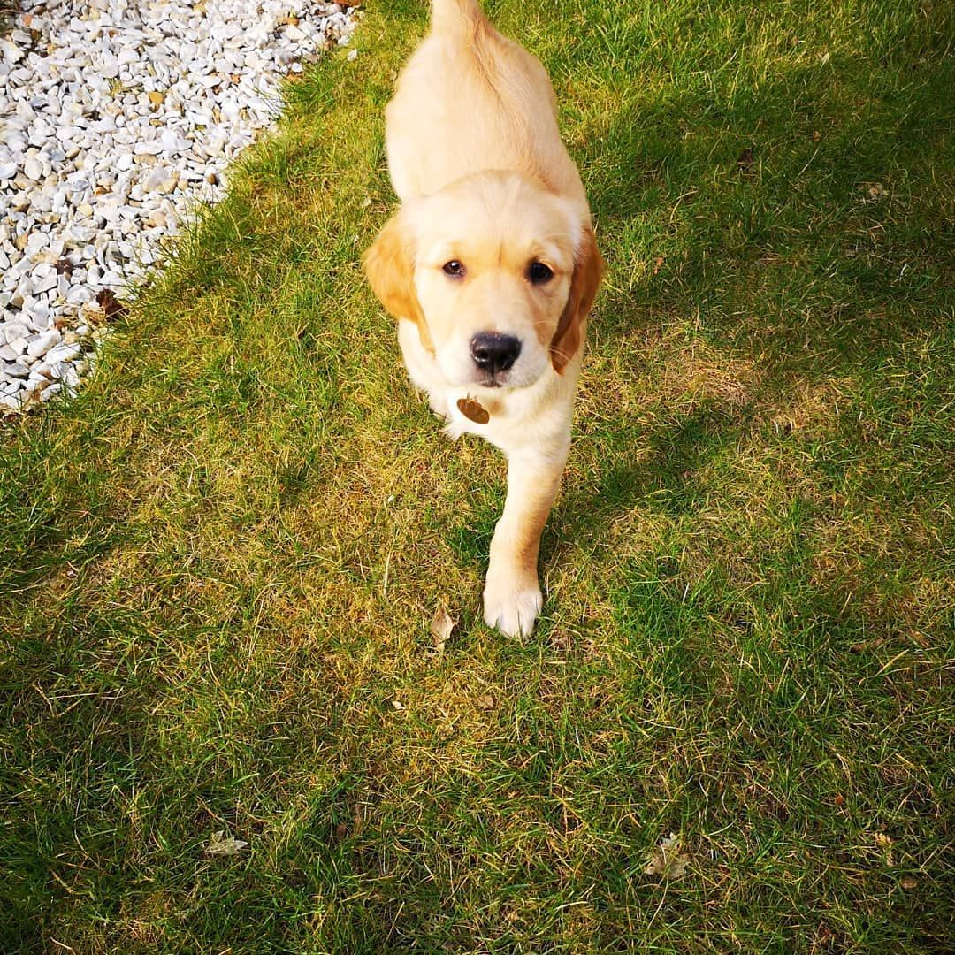 Hello Friends I Am Monty And Im A 9 Week Old Golden Retriever