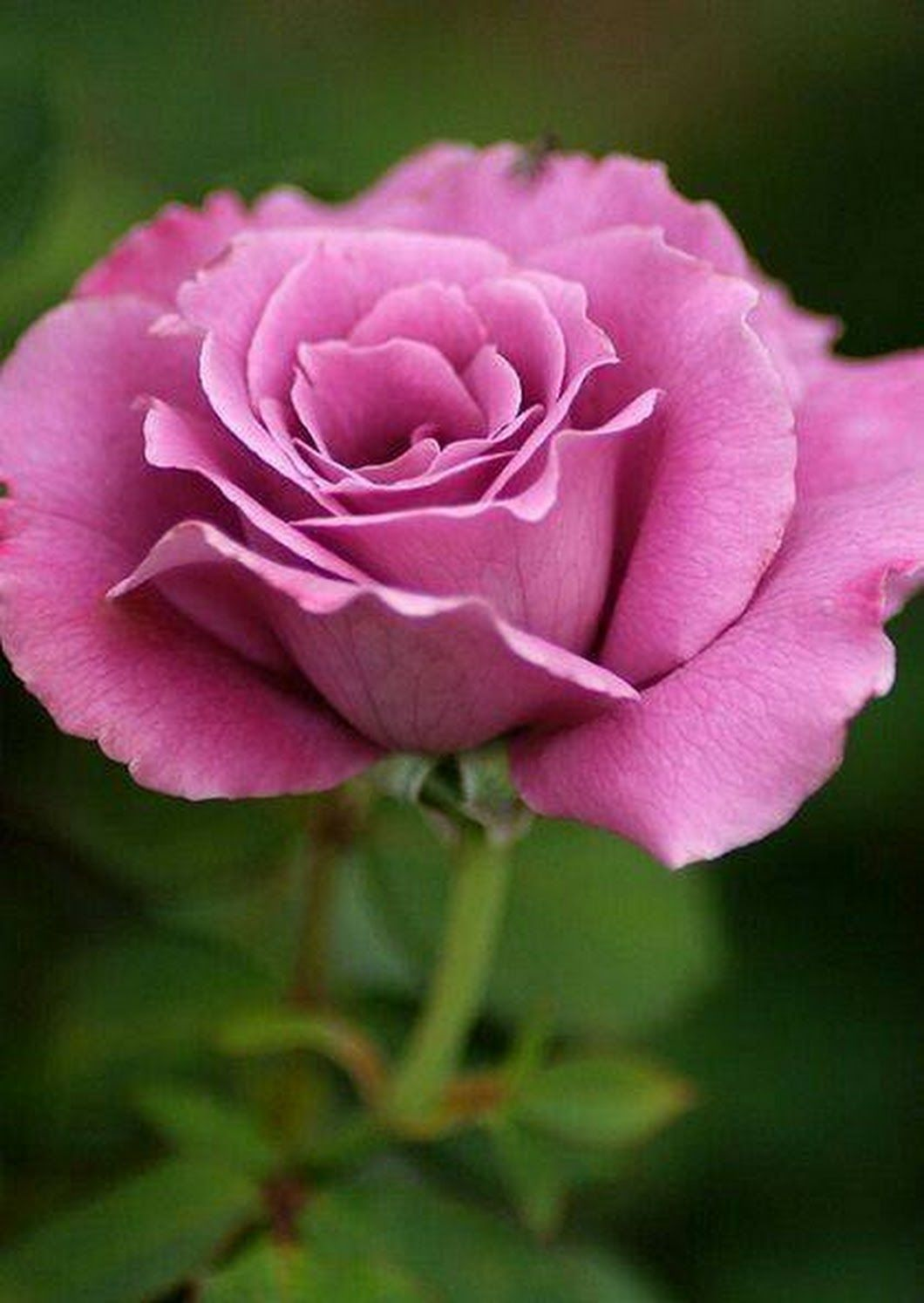 Roses In Garden: Pin By Hunny Adam On Beatiful And Clourful Flowers