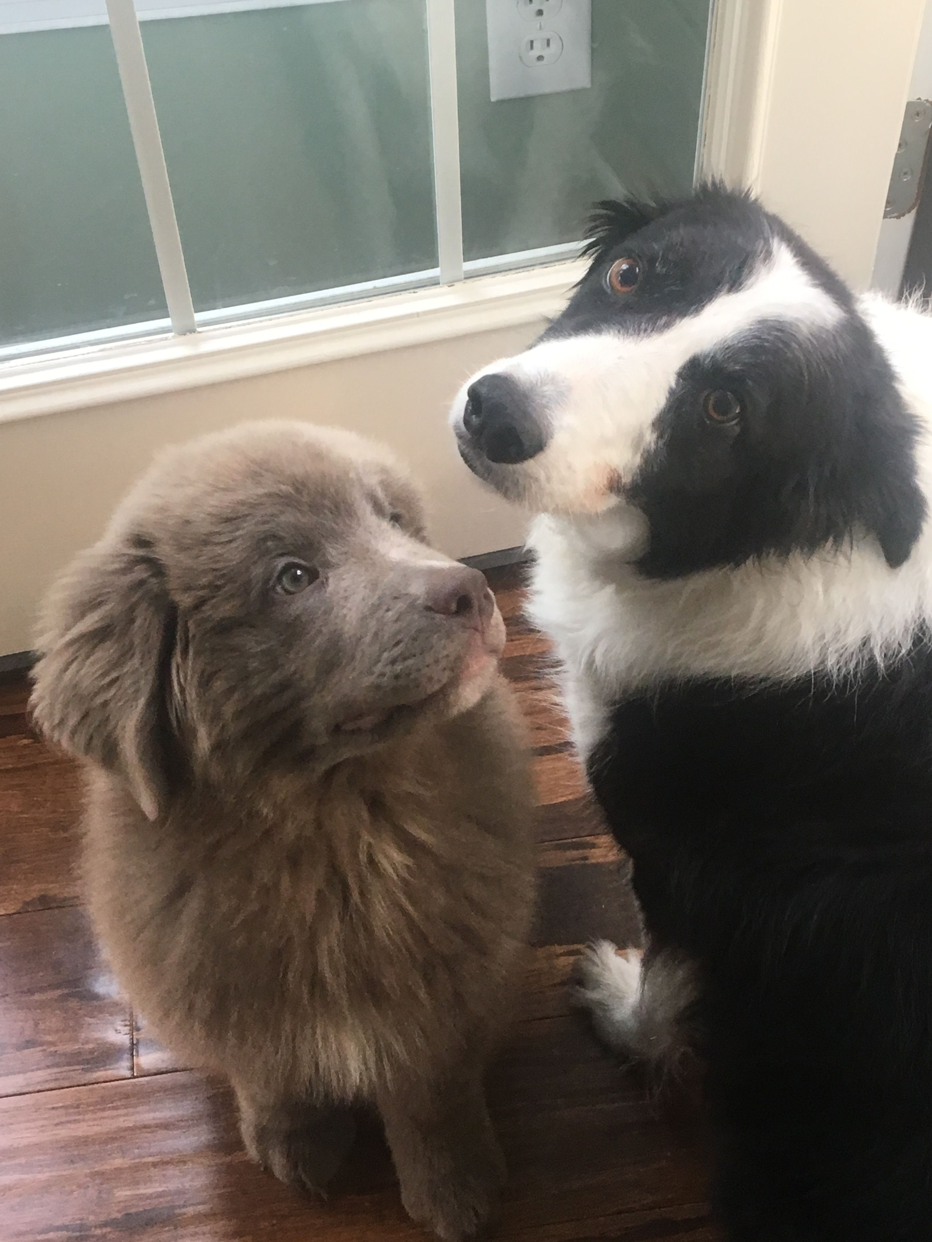 Pictures of Dark Grey Newf a Newfoundland for adoption in