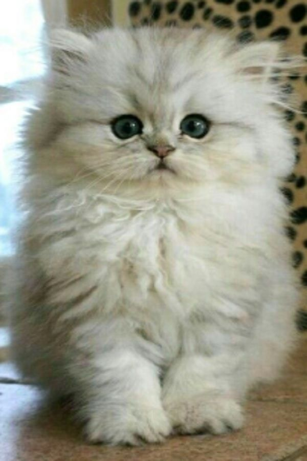 Just Take A Look At This Huge Fluff Ball Jumping Around Video Kittens Cutest Baby Cats Cute Animals
