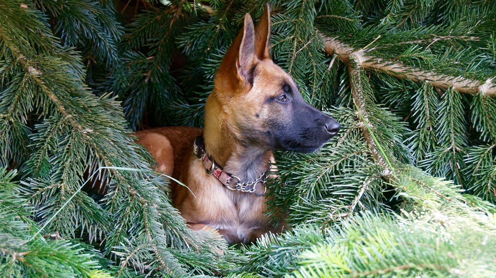 Belgian malinois rescue adoption in 2020 malinois dog
