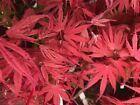 Japanese Maple GEISHA RARE!! #plants #seeds #japanesemaple Japanese Maple GEISHA RARE!! #plants #seeds #japanesemaple Japanese Maple GEISHA RARE!! #plants #seeds #japanesemaple Japanese Maple GEISHA RARE!! #plants #seeds #japanesemaple