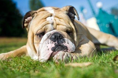 Beautiful English Bullog On A Green Grass Pets Dogs Bulldog