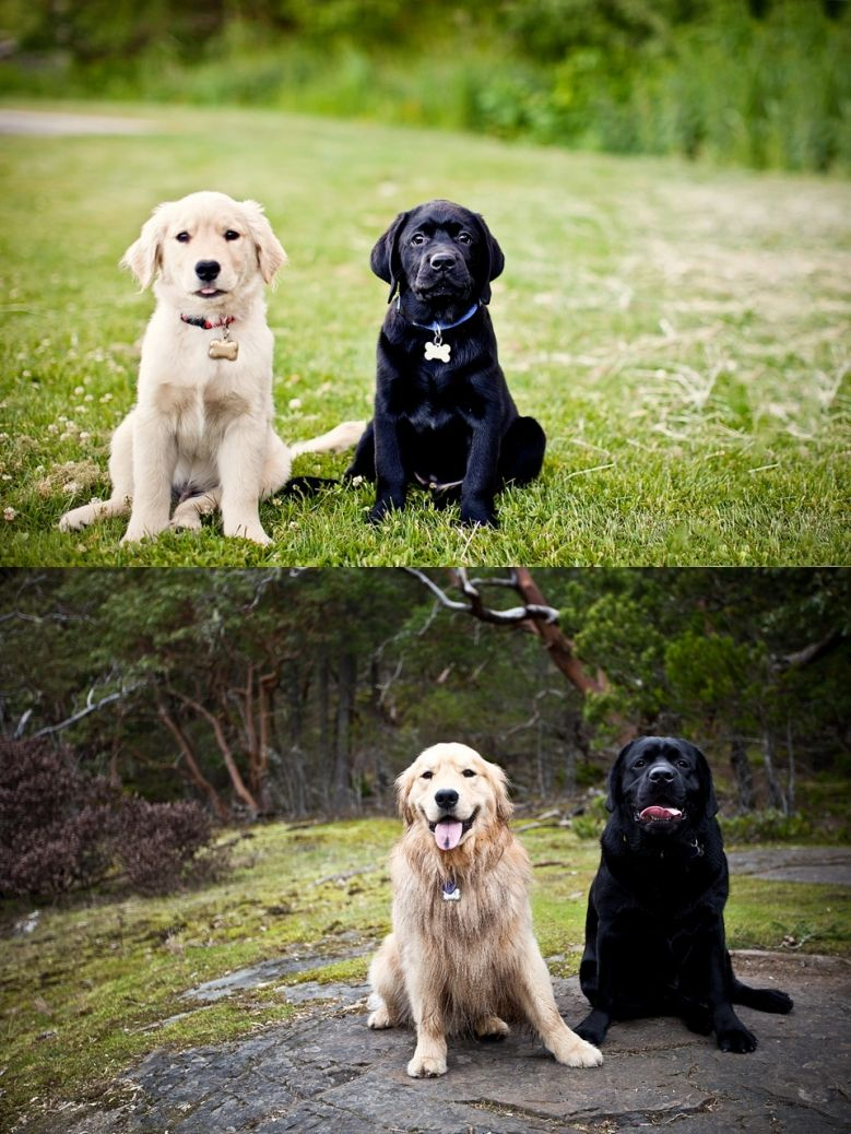 3 Months And Now 1 Year Goldenretriever Blacklab Ashley And Brandon Photography Victoria Bc Photography Animals Cute Animals Furry Friend