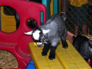 Enrichment Ideas For Goats Ideas From The Petting Zoo Naughty