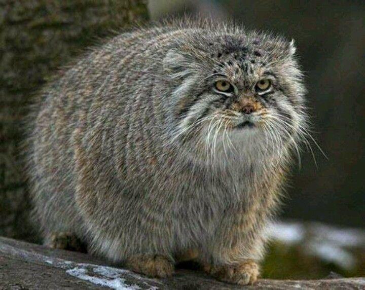 Pala's cat, also cald manu,l live's in Asia