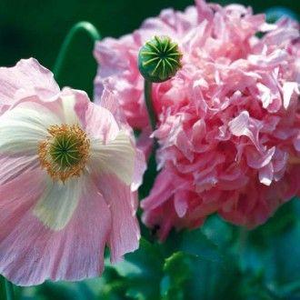 M12 Mohn Rose Paony Rosa Garten Pflanzen Kaufen Pflanzen