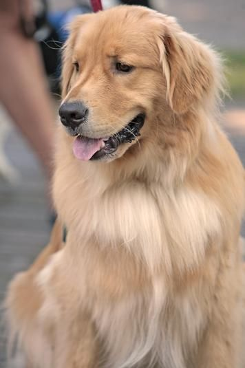 Bailey A 1 Year Old Golden Retriever Therapy Dog Sits Patiently