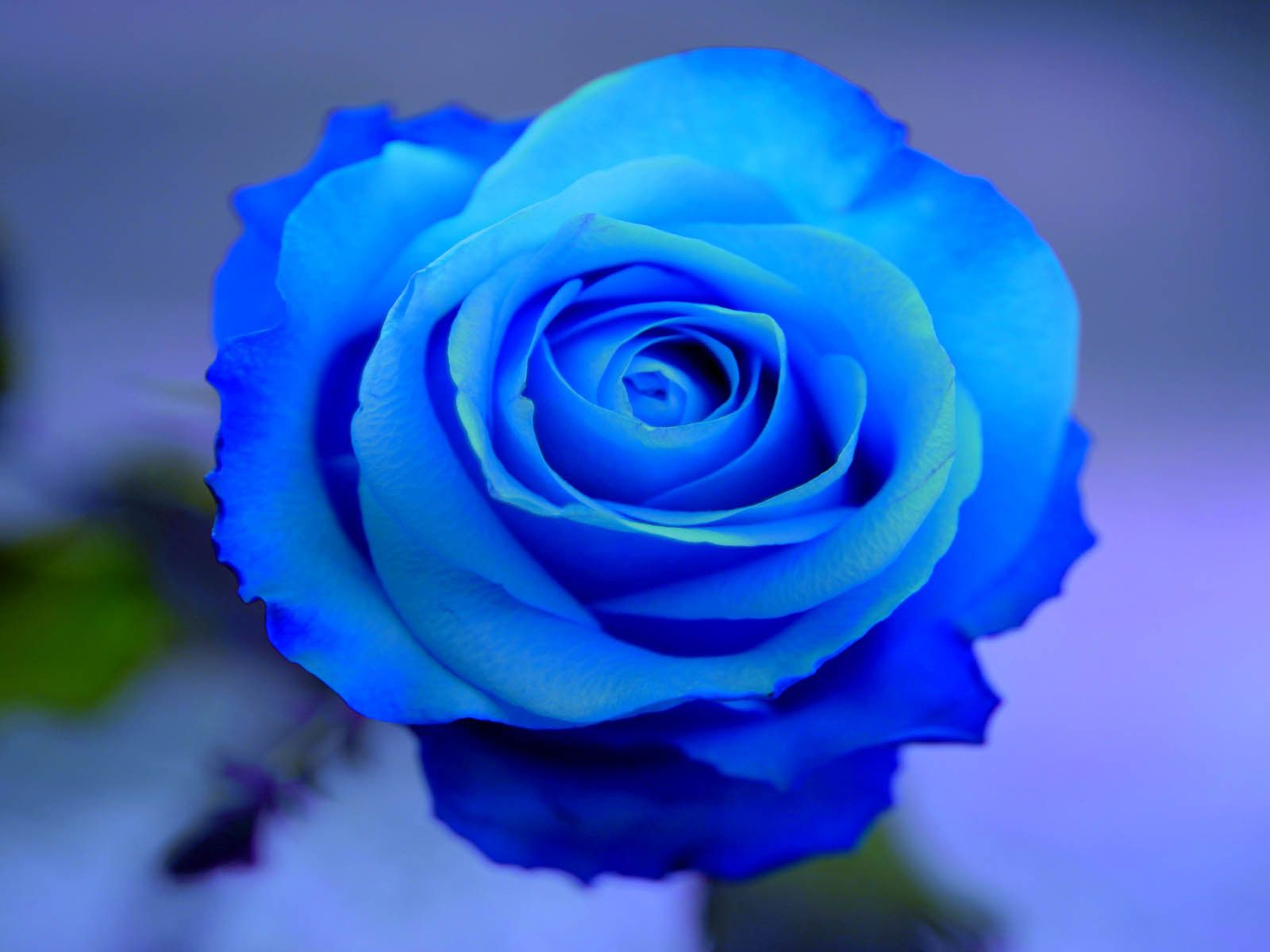 blue rose hd wallpaper download | all about vintage | pinterest