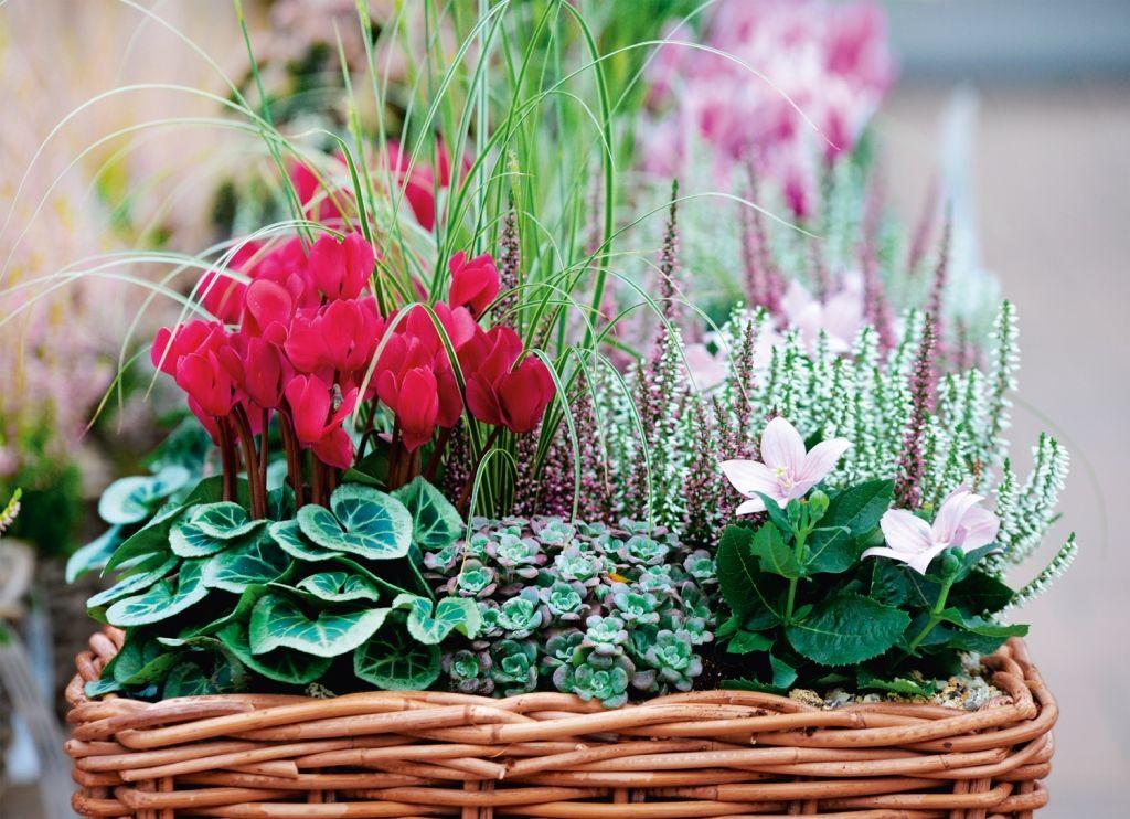 Il Ciclamino Gestione Cure E Curiosita Giardinaggio Piante