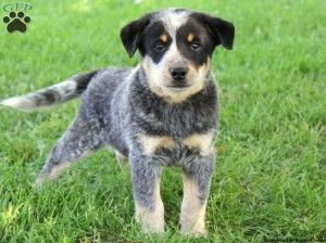 Blue Heeler Puppies For Sale In Va Cute Baby Animals Heeler Puppies Cattle Dogs Mix Blue Heeler Puppies