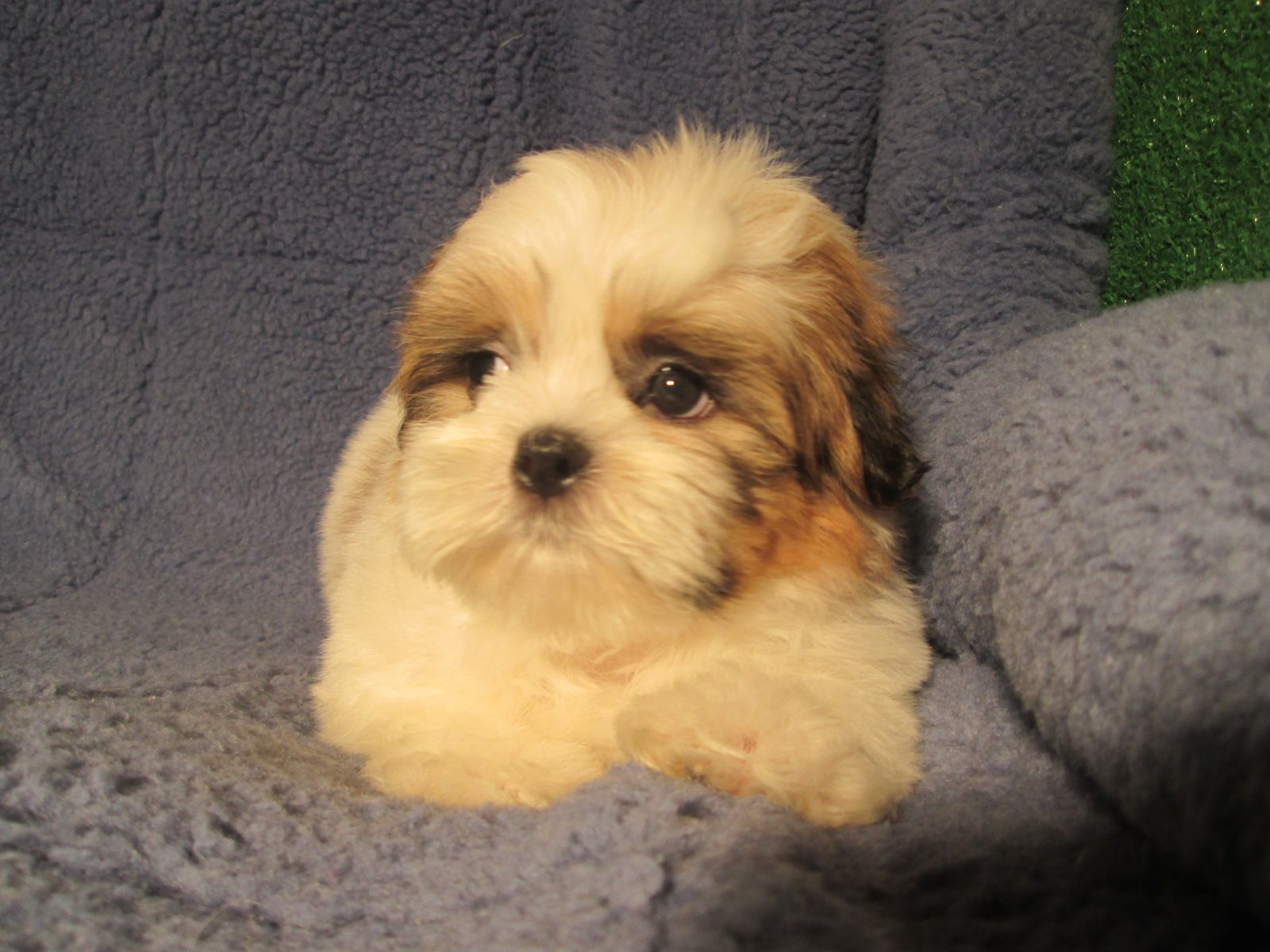 Soft and Sweet Shih Tzu Puppies Available! *8 12 weeks