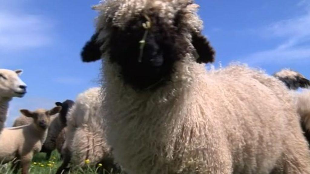 My sheep so cute   Sheep, Animals, Cute