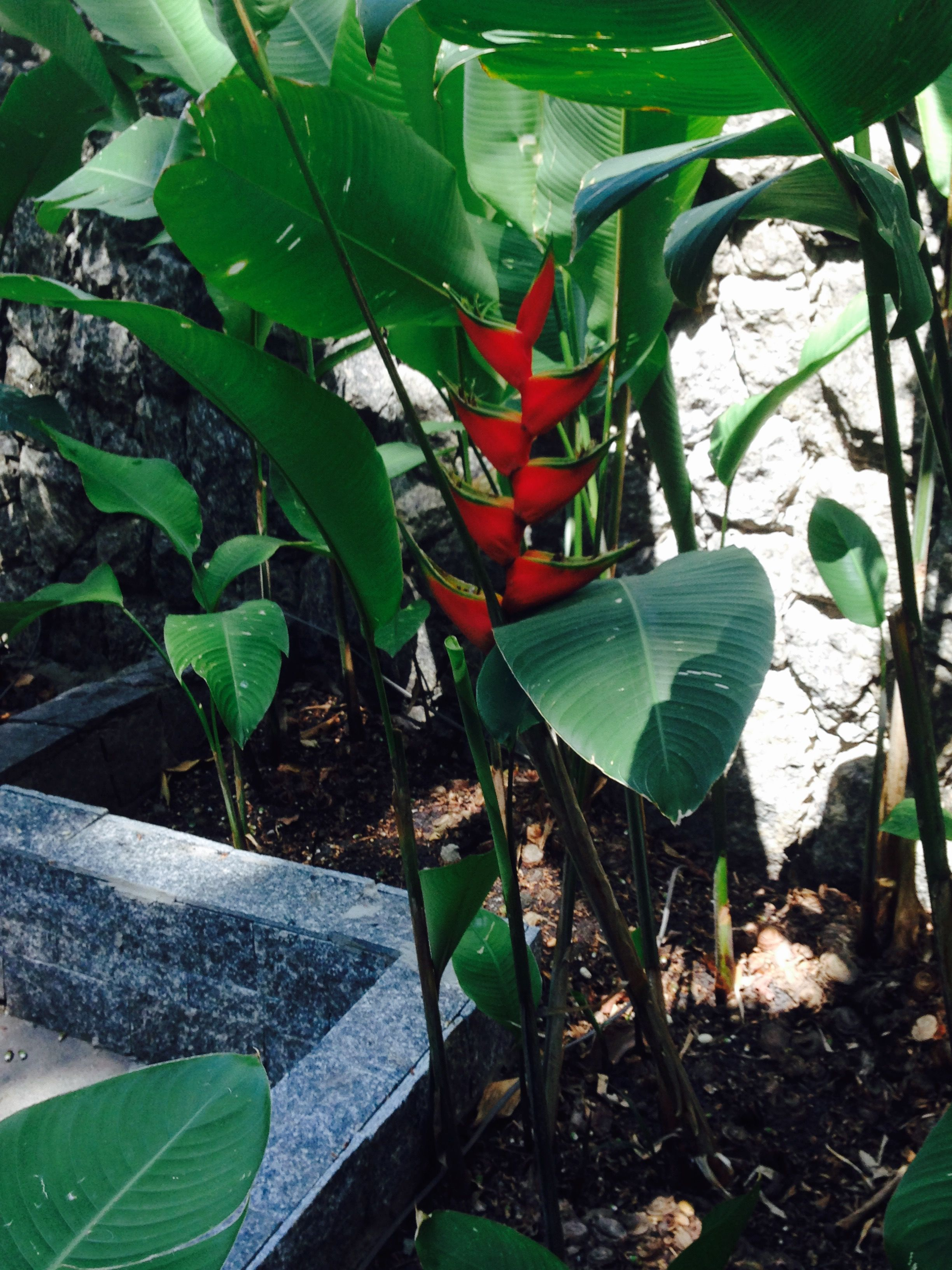 Tropical Plant: Heliconea