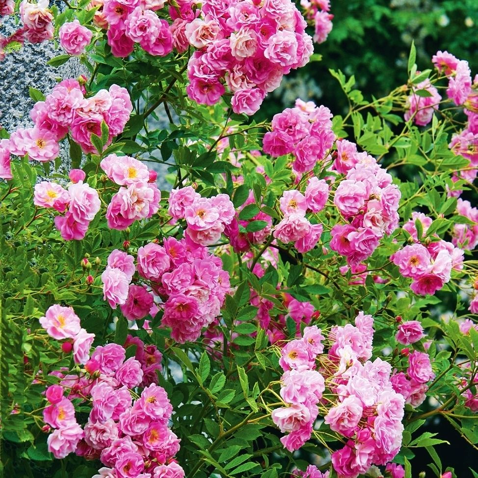 роза рамблер розового цвета фото исполнение позволяет экономить