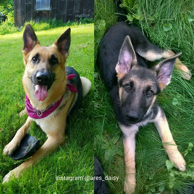 German Shepherd Dog Transformation Gsd Transformationtuesday