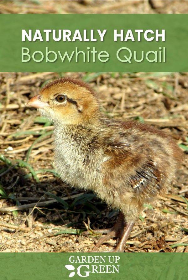 Naturally Hatch Bobwhite Quail | Quail, Raising quail ...