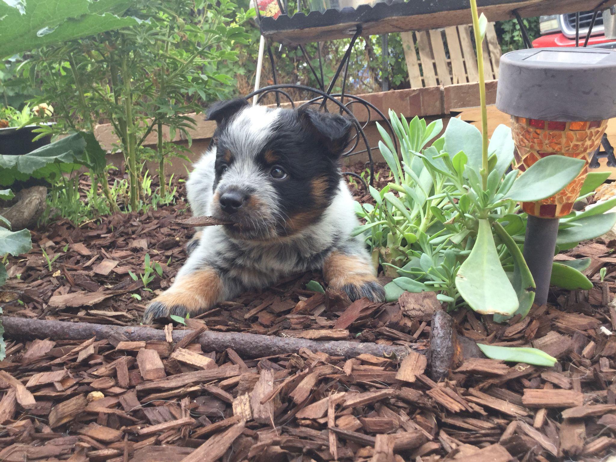 9 Week Old Australian Cattle Dog Puppy So Cute Austrailian