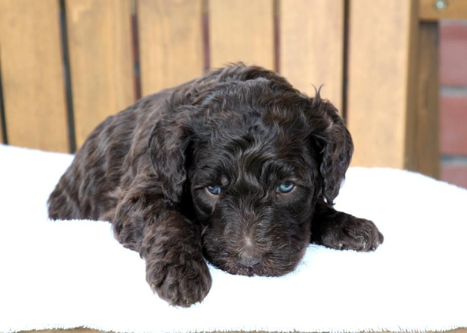 Chocolate Labradoodle puppies (With images) Chocolate