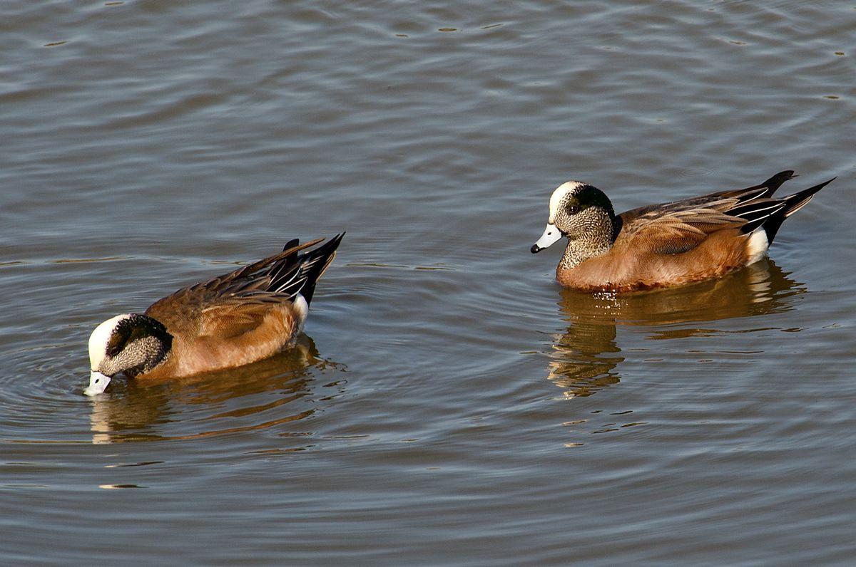 American Wigeon drakes, one of the native Kansas ducks.