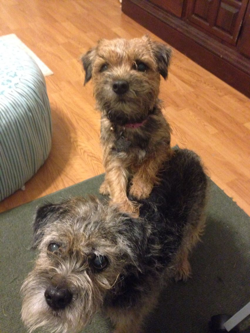 Border Terriers Scruffy Dogs Border Terrier Fluffy Puppies